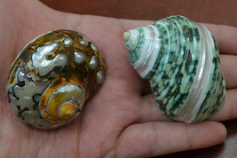 "2 pcs SARMATICUS and green banded jade turbo sea shell HERMIT crab 2"" - ... - $12.00"
