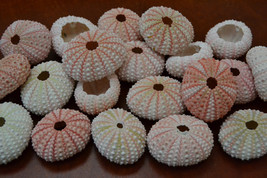 25 Pieces Pink URCHINS Sea Shell Beach Wedding #7396 - $15.00
