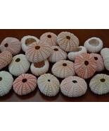 25 Pieces Pink URCHINS Sea Shell Beach Wedding #7396 - $15.00