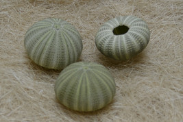 3 Pieces Green URCHINS Sea Shell Beach Wedding #7393 - $5.00