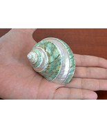 """Polished Pearl GREEN JADE Banded Turbo Hermit CRAB Sea Shell 3"""" #7068 - $7.00"""