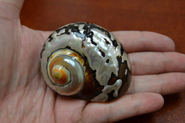 "south africa SARMATICUS turbo sea shell HERMIT crab 2"" - 2 1/2"" #7070 - $7.00"