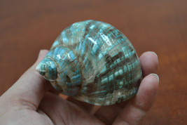 "green mother of PEARL JADE TURBO sea shell hermit crab 2"" - 2 1/2"" 7064 - $7.00"