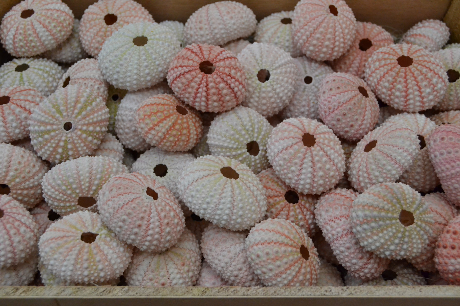 Primary image for 100 Pieces Pink URCHINS Sea Shell Beach Wedding #7396