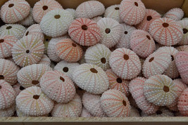 100 Pieces Pink URCHINS Sea Shell Beach Wedding #7396 - $30.00