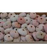 100 Pieces Pink URCHINS Sea Shell Beach Wedding #7396 - $30.00
