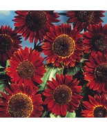 15pcs/bag Helianthus Red Sunflower  beautiful Flower Seed - $10.50