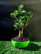 Olive tree Bonsai - Amazing tree - $90.00