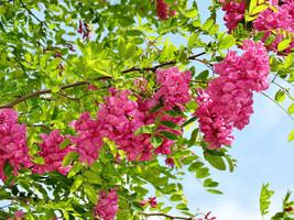 Bristly Locust, Rose Acacia, Rose Locust, Robinia hispida fertilis  20 s... - $0.99