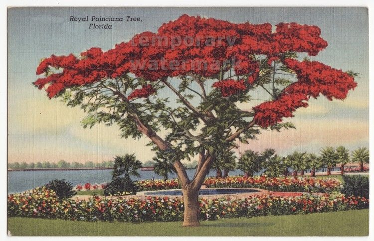 ROYAL POINCIANA TREE IN BLOOM FLORIDA PLANTS ~ca 1940s linen postcard