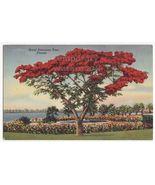 ROYAL POINCIANA TREE IN BLOOM FLORIDA PLANTS ~ca 1940s linen postcard - $2.71