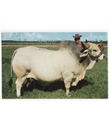 CHAMPION BRAHMAN BULL EMPEROR MANSO- FLORIDA CATTLE RAISING c1960s FL PO... - $2.76