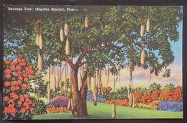 Sausage Tree  Old Cutler Road Near Matheson Hammock FL~1960s postcard ~P... - $2.71