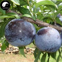 Buy Purple Plum Fruit Seeds 25pcs Plant Prunus Salicina For Chinese Frui... - $5.99