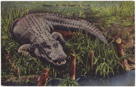 ALLIGATOR  AN OLD TIMER IN FLORIDA ~ 1950s vintage postcard - FL - $3.22