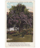 Bouganvillea Vine Entwining a Palm Tree c1920s Florida postcard - $2.71