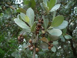 30 Seeds Silver Buttonwood Conocarpus Erectus Var. Sericeus  - $19.75