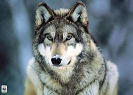 WOLF SPIRITUAL  BRING HIM  BACK PACKAGE I 14 DA... - $200.00