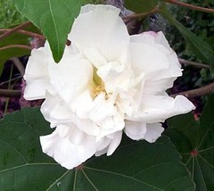 50 Seeds - White Double Rose Of Sharon Hibiscus #SFB15 - $17.99
