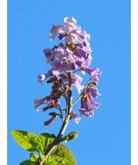 4 Variety Seeds - Royal Empress Paulownia Tomentosa Tree Seeds #TSP - $16.99+