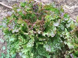 500 Seeds Chrystal Batavian Lettuce - $10.89