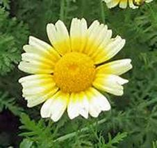 Garland Daisy 50+ Seeds Newly Harvested - $2.99