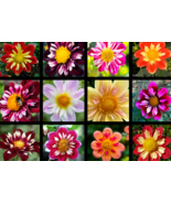 50 Pcs Seeds Collarette Dahlia Variabilis Mixed Two Tone Red Pink Yellow... - $16.00