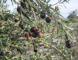 Olive Tree - 'Manzanillo' - Olea Europaea - live plant - $15.99