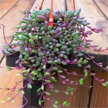 "Othonna capensis ruby necklace hanging succulent 4 cuttings each 3-6"" long - $23.76"