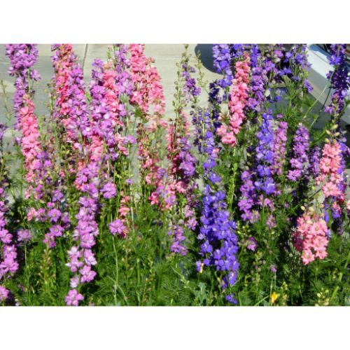 Primary image for Larkspur (Rocket) Imperial Mix 900 Seeds #CRB03