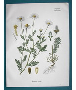 MAYWEED or CHAMOMILE Medicinal Anthemis Cotula - Beautiful COLOR Botanic... - $13.77