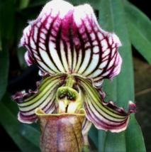 WHITE PURPLE Cypripedium Tibeticum Slipper Orchids Paphiopedilum Seeds 2... - $4.20