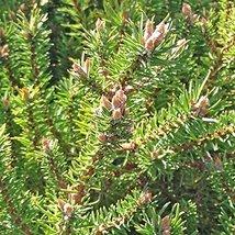 1 Year PLANT of Manomet Dwarf Jack Pine - $79.20