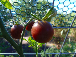 Black Cherry tomato - Blight-resistant strain of this heirloom, great fl... - $3.50