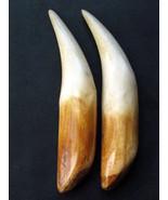 PAIR TWIN BUDDHA HINDU TIGER-CANINE-TOOTH-FANG-TEETH, NOT-REAL-TIGER-BONE - $19.99