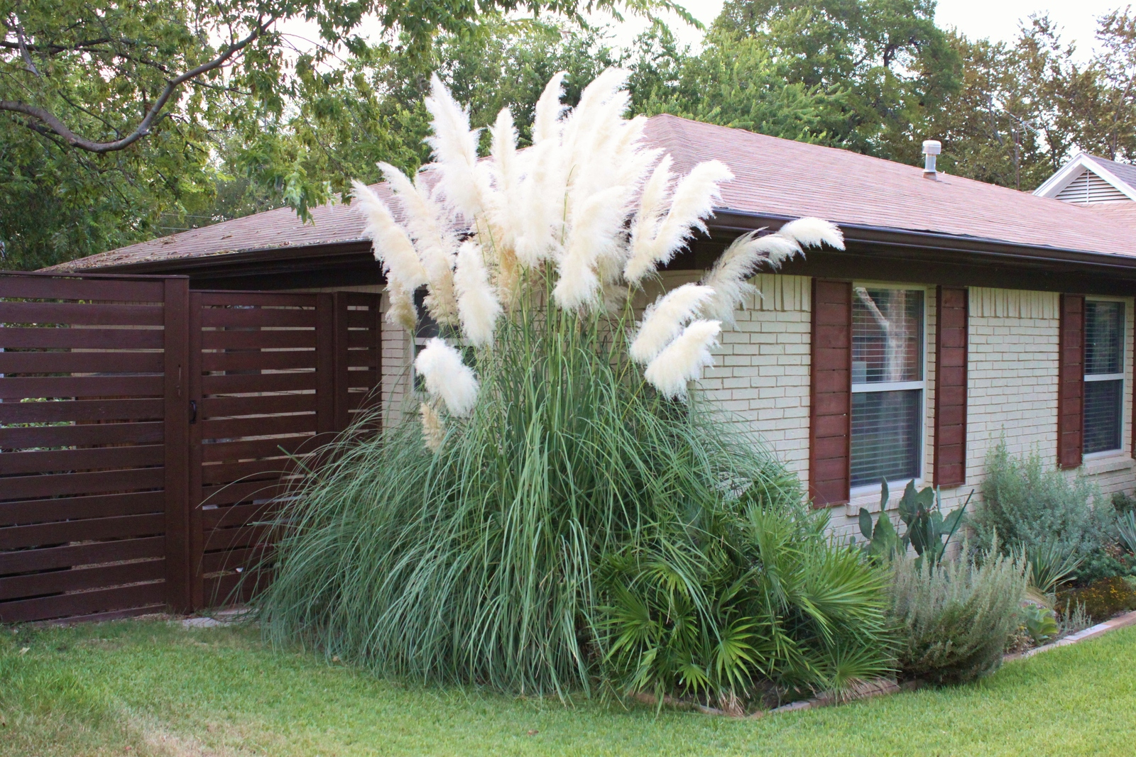 White pampas grass seed patio and garden ornamental for Landscaping ideas with pampas grass