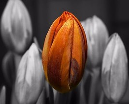 Photograph of Tulips (8X10) Color Landscape Print-Photography-Art-Pictur... - $7.95