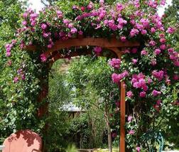 50pcs Very Graceful Taiwai Purple Climbing Rose Big Blooming Flowers IMA1 - $14.80
