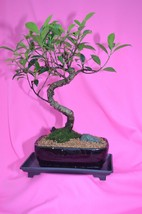 INDOOR BONSAI,BANYAN,15 YEARS OLD,S SHAPE,ACTUAL BONSAI FOR SALE NOT A P... - $65.43