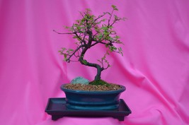 INDOOR BONSAI,CHINESE ELM,SUB TROPICAL,10 YEARS OLD, ACTUAL BONSAI FOR S... - $65.43