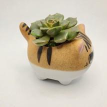 "Graptoveria Olivia Succulent in Cat Planter - 2.5"" Kitty Kitten Ceramic Pot image 4"