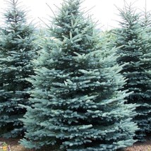 "6 Plants Colorado Blue Spruce Tree Evergreen Conifer Rooted in 2.5"" Pots - $82.49"