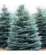 """6 Plants Colorado Blue Spruce Tree Evergreen Conifer Rooted in 2.5"""" Pots - $82.49"""