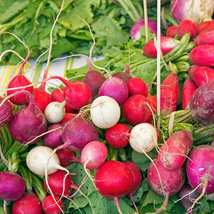 Radish Seeds - Easter Egg Blend - Vegetable Seeds - Outdoor Living - FREE SHIPP - $33.99+