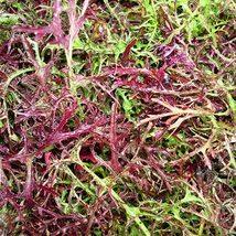 50 Seeds Purple Pickled seed Brassica juncea var Delicious Vegetable Seeds C156 - $13.58