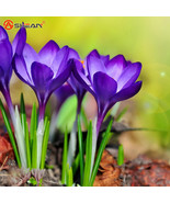 Purple Saffron Seeds, Purple Saffron Herbs for Balcony - 50 Particles / lot - $3.99