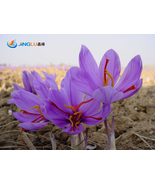 Saffron Plant Seeds, Great Herbs Saffron Seeds - 50 pcs seeds - $3.99