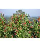 Malvaviscus arboreus VAR. drummondii - $47.52