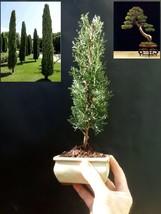 Cupressus Sempervirens Totem Pre-bonsai - A special tree - $57.50