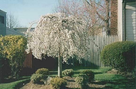 Weeping Cherry Tree  Prunus x yeodensis shidare yoshino